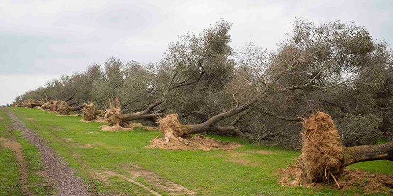 Xylella. M5S: Situazione rischia di peggiorare con il caos nell'Arif. Agricoltori ormai allo stremo