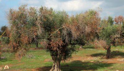 xylella-0070-keGD-U434801177837614BAG-593x443@Corriere-Web-Sezioni